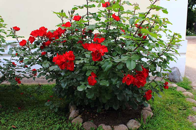 A close up horizontal image of a red species rose bush growing outside a residence.