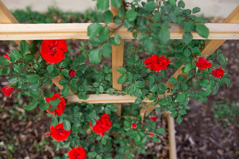 A close up horizontal image of bright red roses growing up a wooden trellis pictured on a soft focus background.