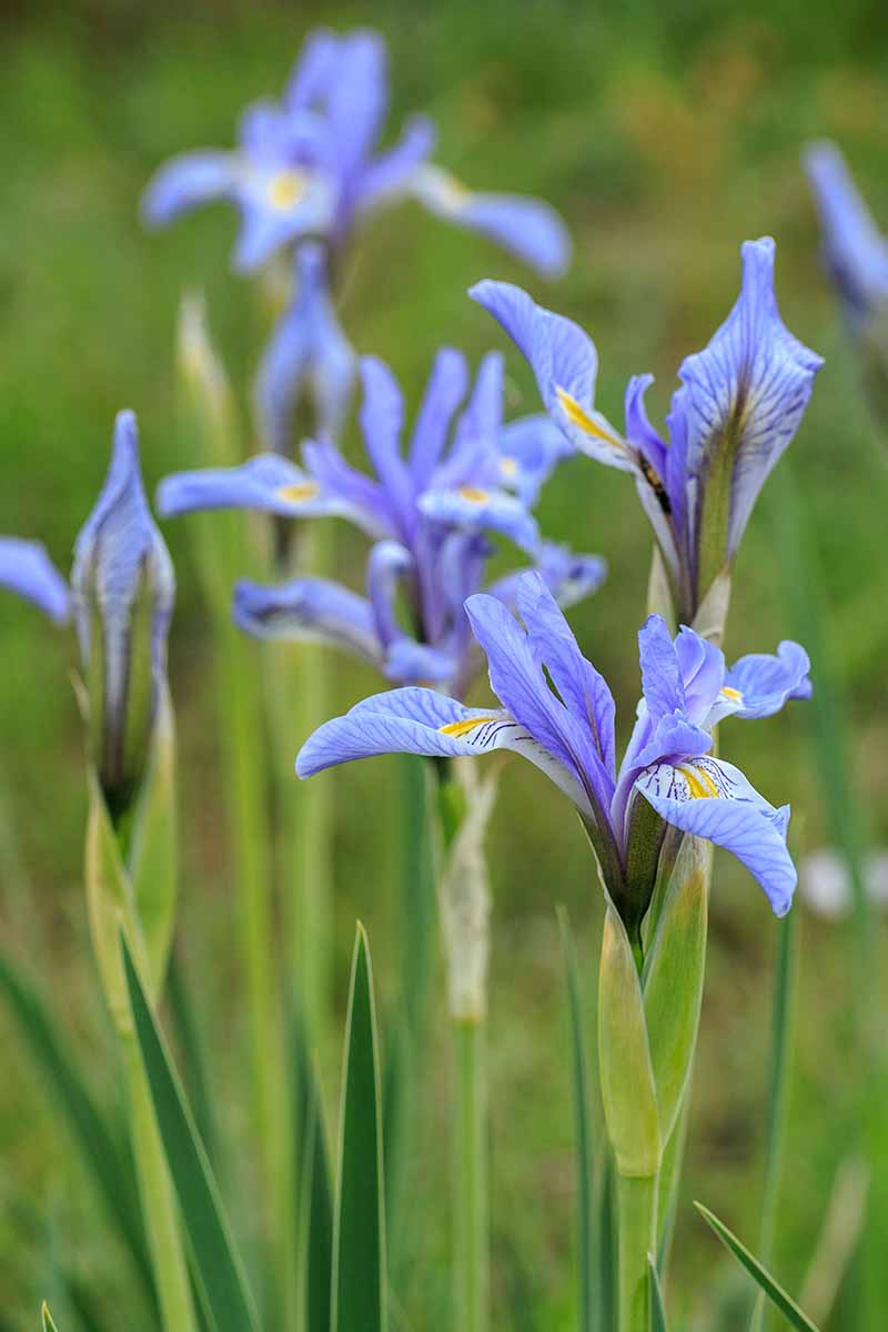 A close up vertical image of the native blue flag iris growing in the spring garden.