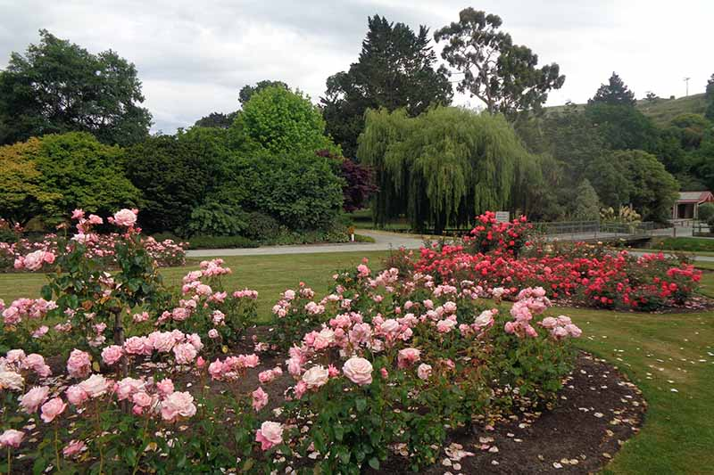 A horizontal image of roses growing in large garden beds with a driveway and trees in the background.
