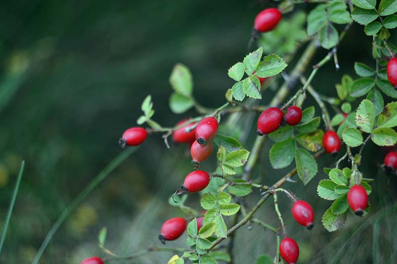 A close up horizontal image of bright red rose hips in the fall garden pictured on a soft focus background.