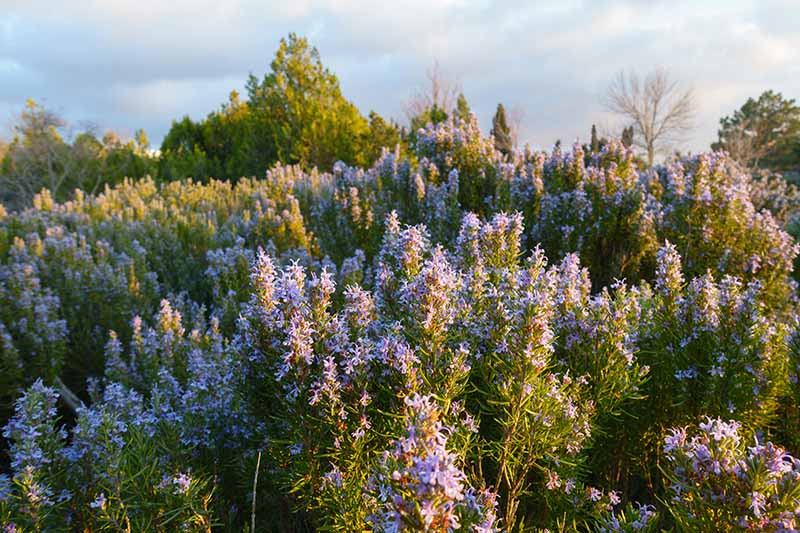 A horizontal image of a large swath of rosemary plants with light purple flowers growing wild.