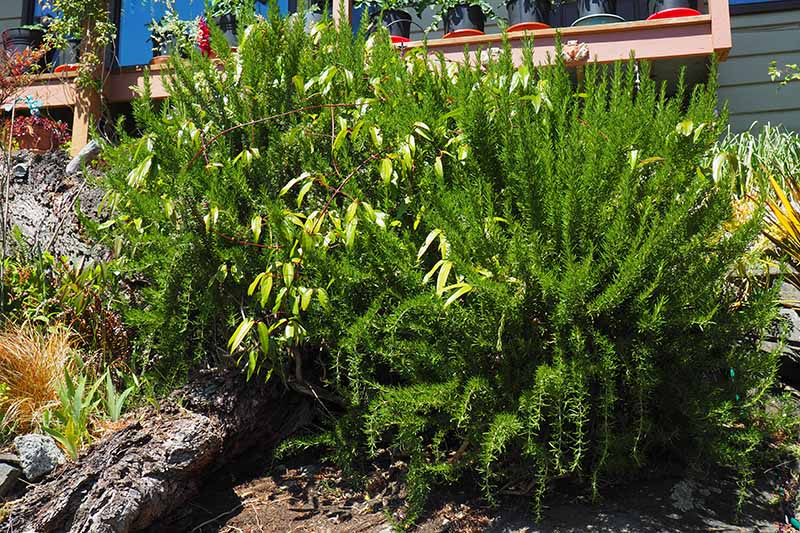 A close up horizontal image of large rosemary bushes growing in a sheltered spot outside a residence.