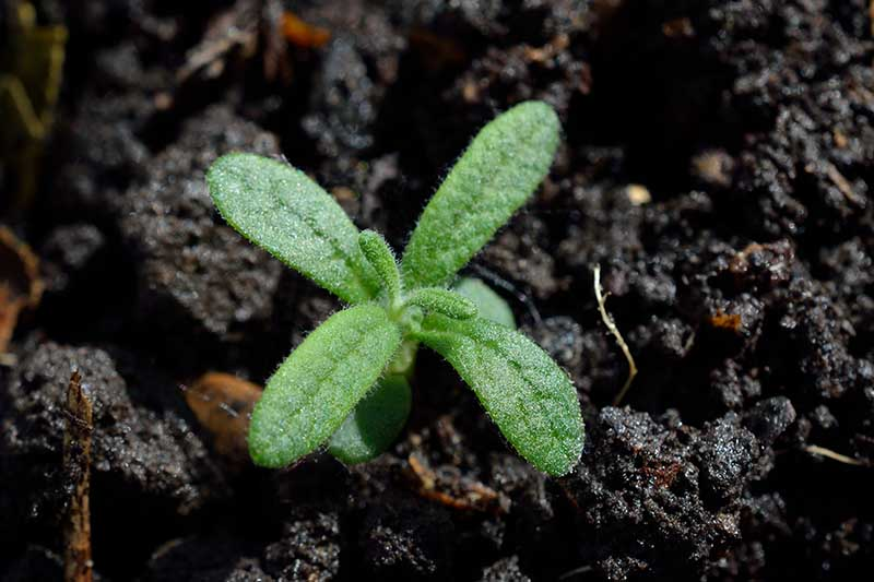 A close up horizontal image of a small seedling pushing through damp soil.