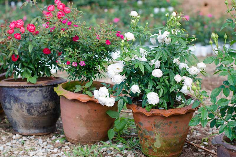 A close up horizontal image of rose shrubs growing in terra cotta pots on a patio garden.