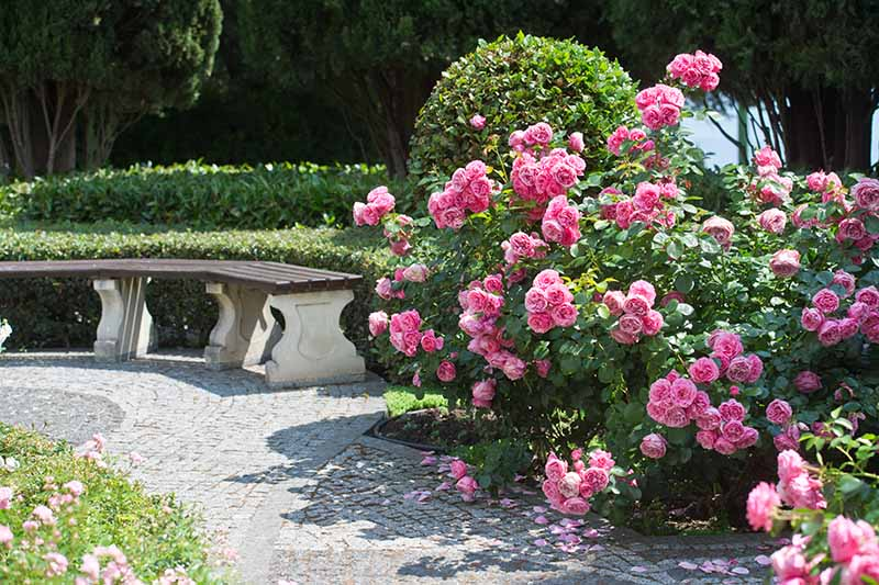 A horizontal image of a formal garden with a wooden bench, paved pathways, hedging, and pink roses, pictured in bright sunshine.