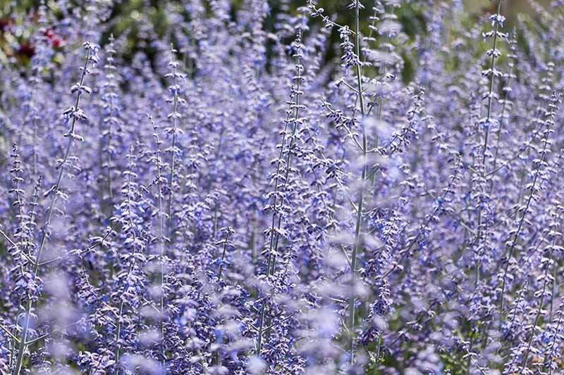 A close up horizontal image of the bright blue flowers of Salvia yangii growing in the garden.