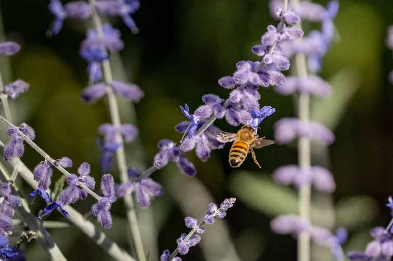 A close up horizontal image of the blue flowers of Salvia yangii with a bee pictured in bright sunshine on a soft focus background.