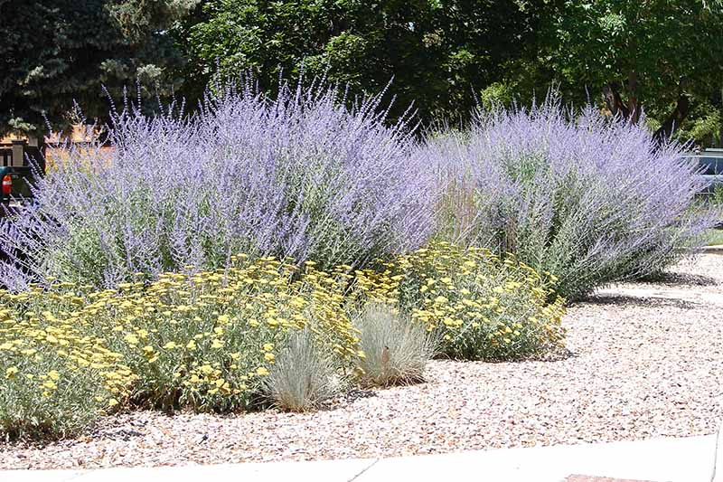 A close up horizontal image of Russian sage (Salvia yangii) growing in the garden surrounded by mulch.