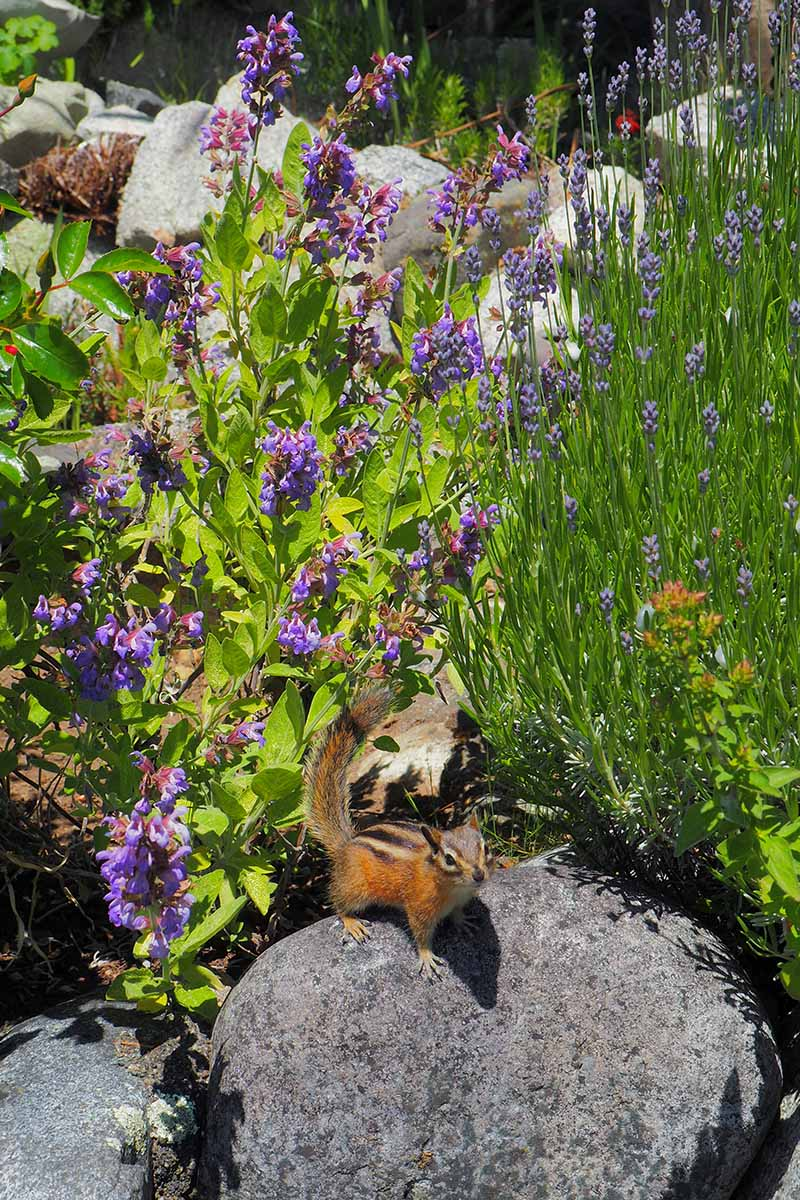 A close up vertical image of a variety of different herbs growing in a rocky garden with a squirrel on one of the stones, pictured in bright sunshine.