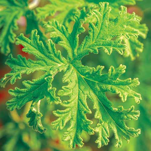 A close up square image of the foliage of a citronella scented geranium plant pictured on a soft focus background.
