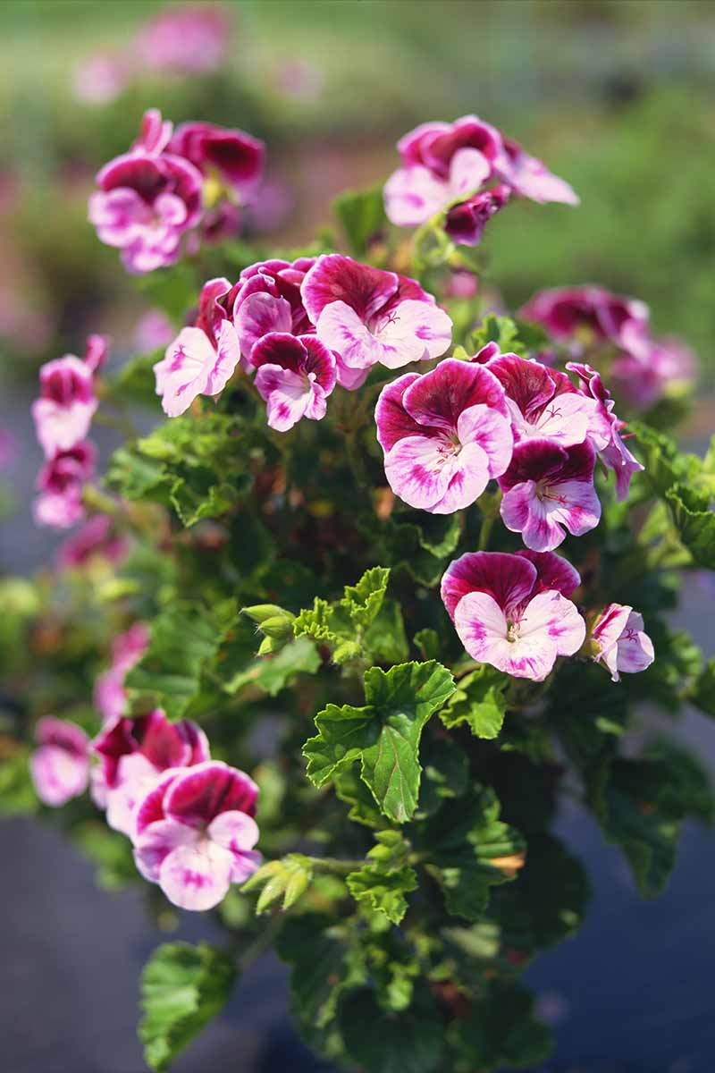 A close up vertical image of the vibrant pink scented geraniums growing in the summer garden.