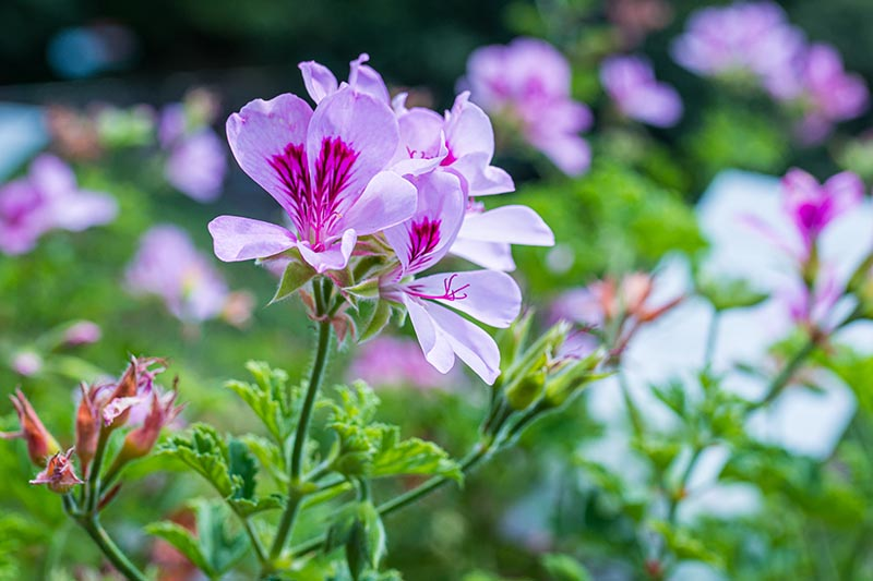A close up horizontal image of pink scented geranium flowers pictured in bright sunshine.