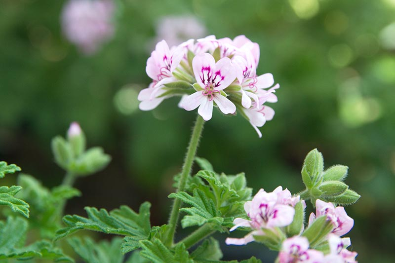 A close up horizontal image of Pelargonium graveolens 'Lady Plymouth' growing in the garden pictured on a soft focus background.