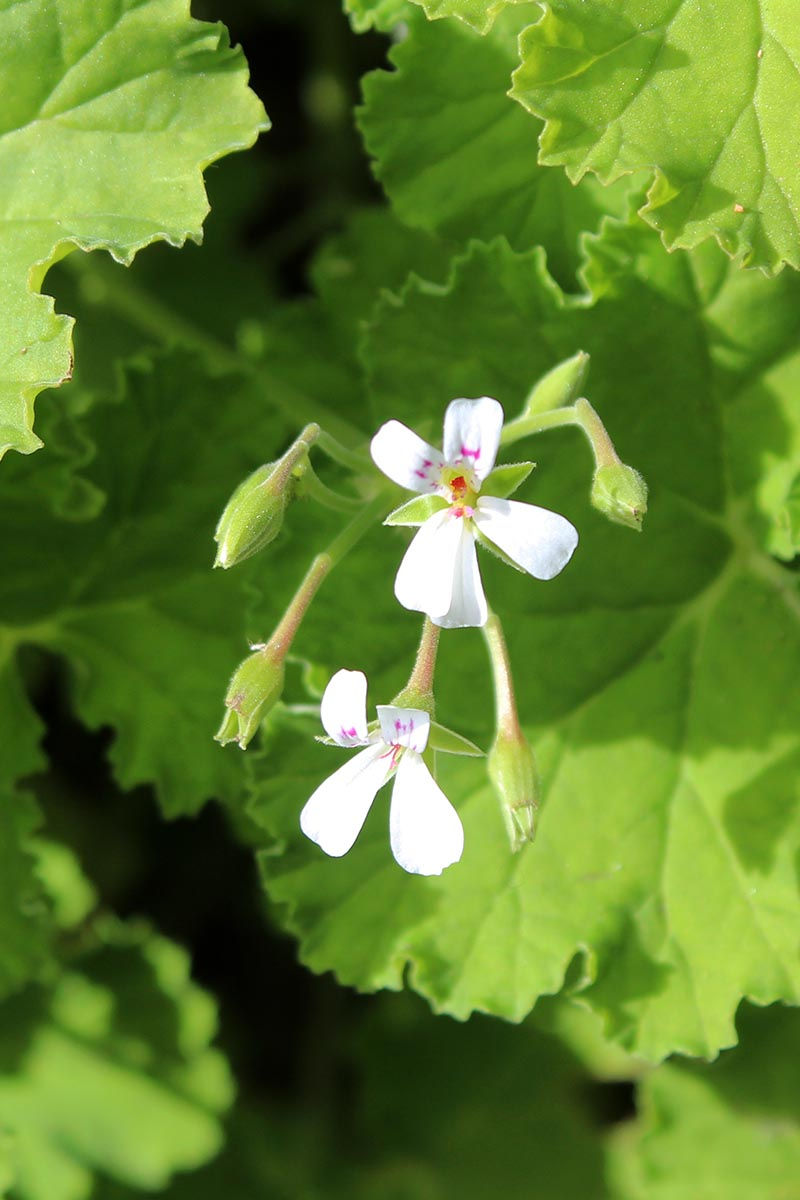 A close up vertical image of the delicate white flowers of Pelargonium odoratissimum pictured on a soft focus background.