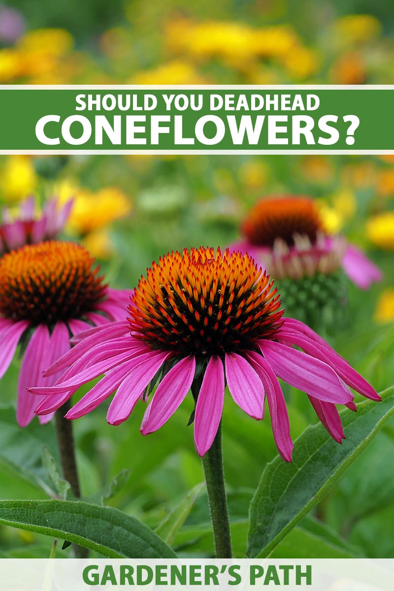 A close up vertical image of purple coneflowers growing in the garden pictured on a soft focus background. To the top and bottom of the frame is green and white printed text.