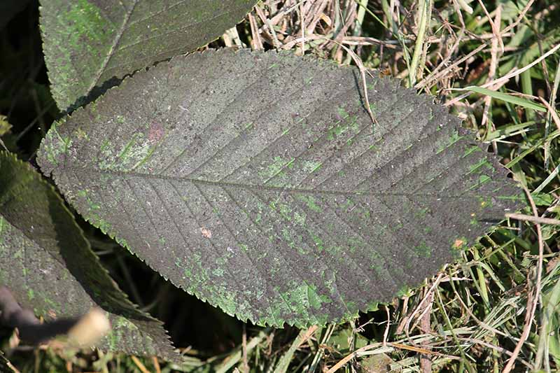 A close up horizontal image of a leaf with a heavy coating of sooty mold.