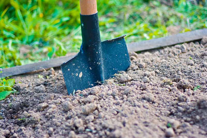 A close up horizontal image of a spade in the soil of a garden bed with lawn in soft focus in the background.