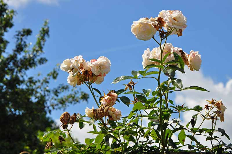 A close up horizontal image of spent roses pictured on a blue sky background.