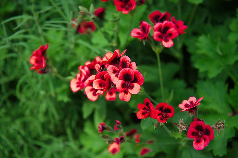 A close up horizontal image of bright red scented geranium flowers with deep red centers growing in the garden pictured on a soft focus background.