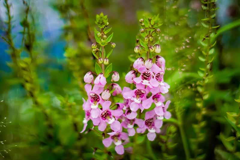 A close up horizontal image of the delicate pink flowers of Angelonia angustifolia growing in the garden.