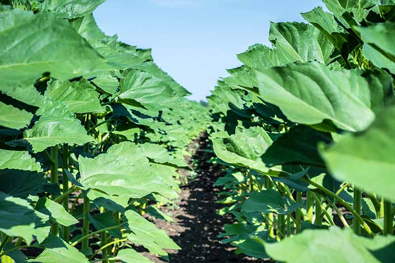 A horizontal image of rows of sunflower plants with an abundance of foliage but no flowers pictured on a blue sky background.