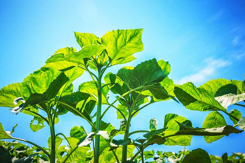 A horizontal image of Helianthus annus plants pictured on a blue sky background.