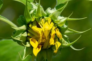 How to Help Sunflowers That Won't Bloom
