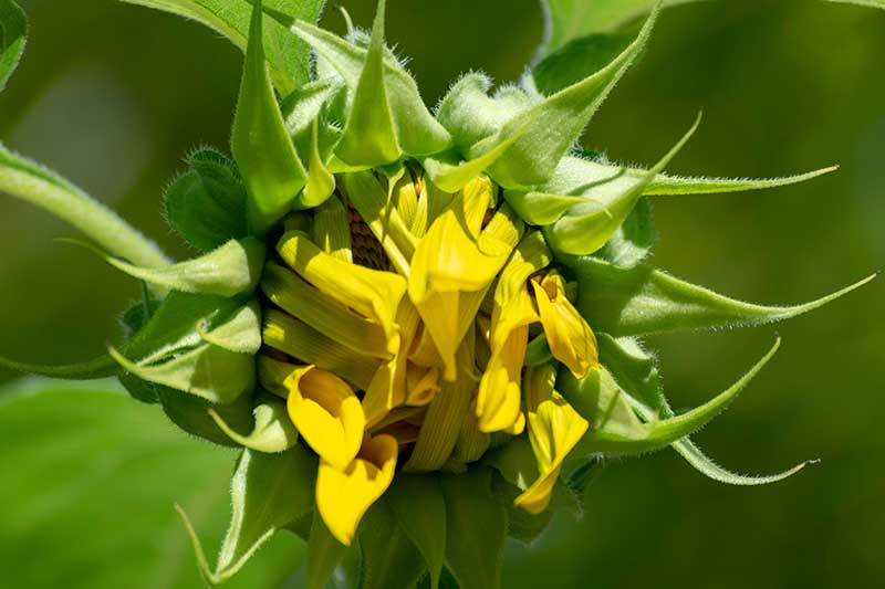 A close up horizontal image of a sunflower bud that is just starting to open up pictured on a green soft focus background in bright light.