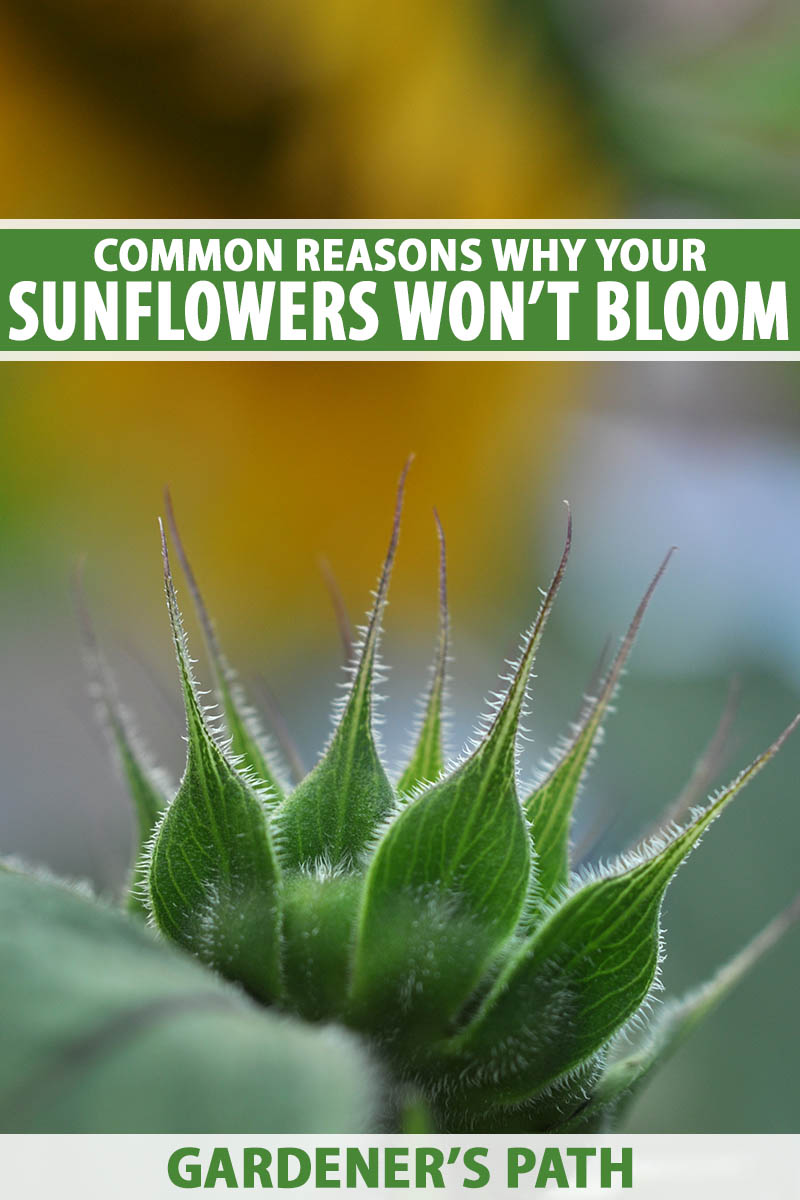 A close up vertical image of a sunflower bud pictured on a soft focus background. To the top and bottom of the frame is green and white printed text.