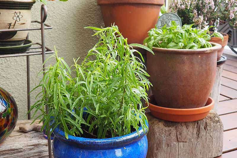 A close up horizontal image of a container garden on a wooden deck growing a variety of different herbs.
