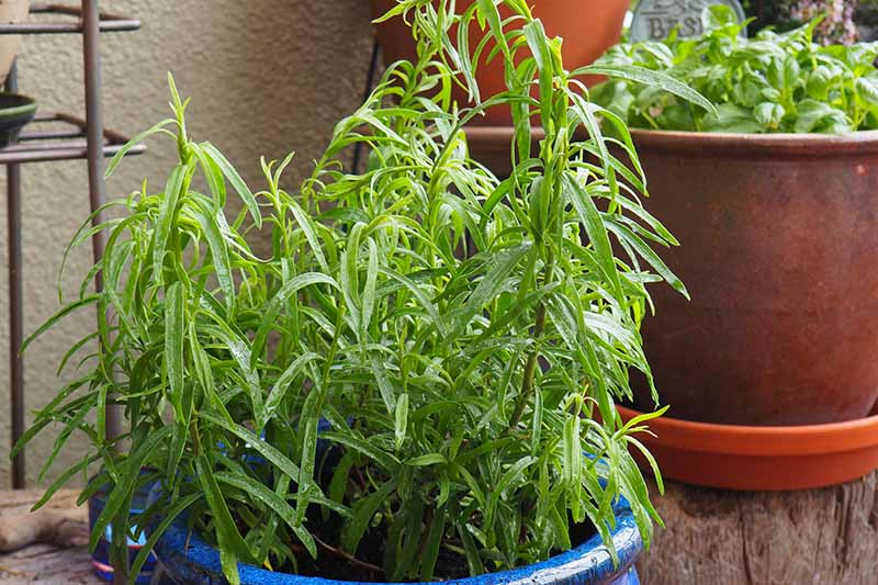 A close up horizontal image of French tarragon growing in a blue ceramic container on a deck.