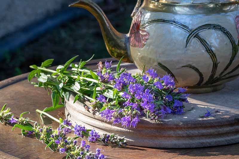 A close up horizontal image of a ceramic tea pot set on a wooden chopping board with sprigs of purple hyssop.