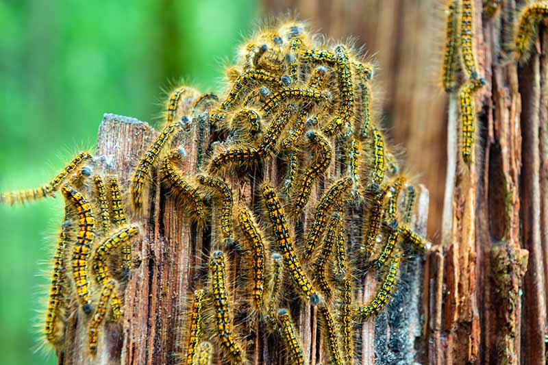 A close up horizontal image of tent caterpillars clustered on a tree stump pictured on a soft focus background.