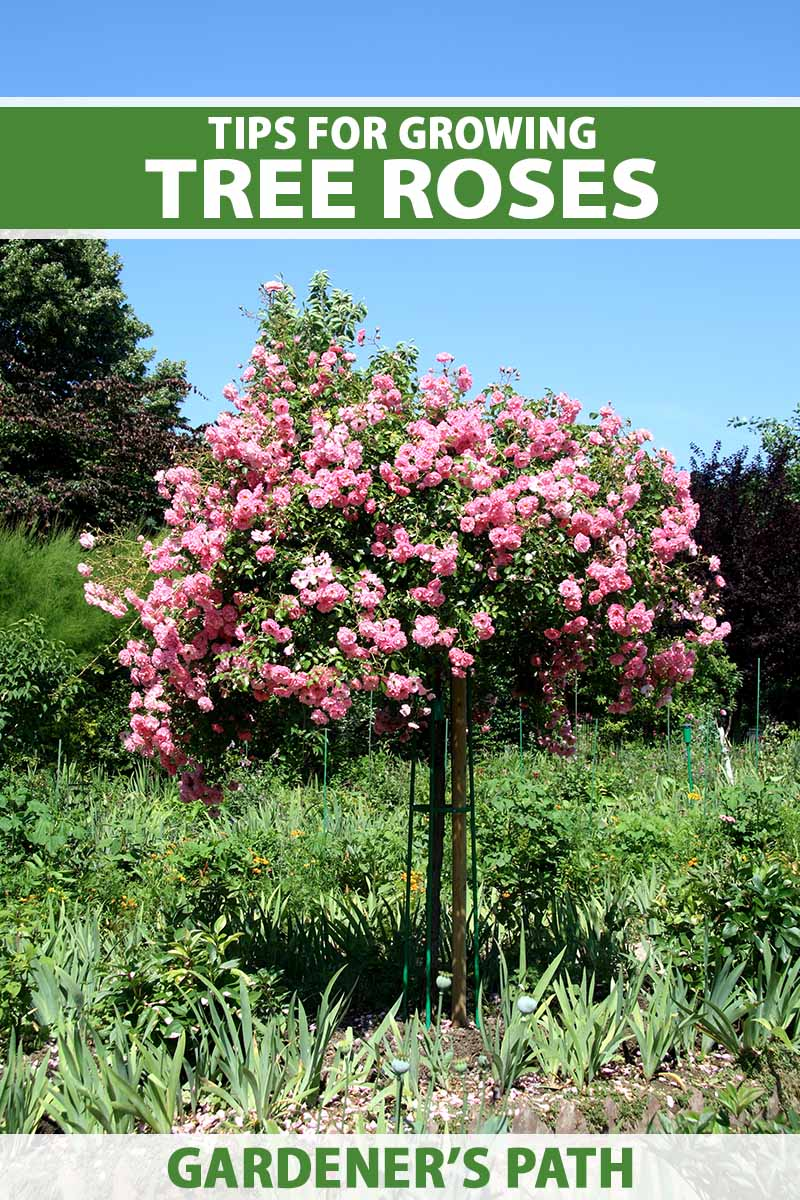 A close up vertical image of a pink tree rose growing in a garden pictured in bright sunshine on a blue sky background. To the top and bottom of the frame is green and white printed text.