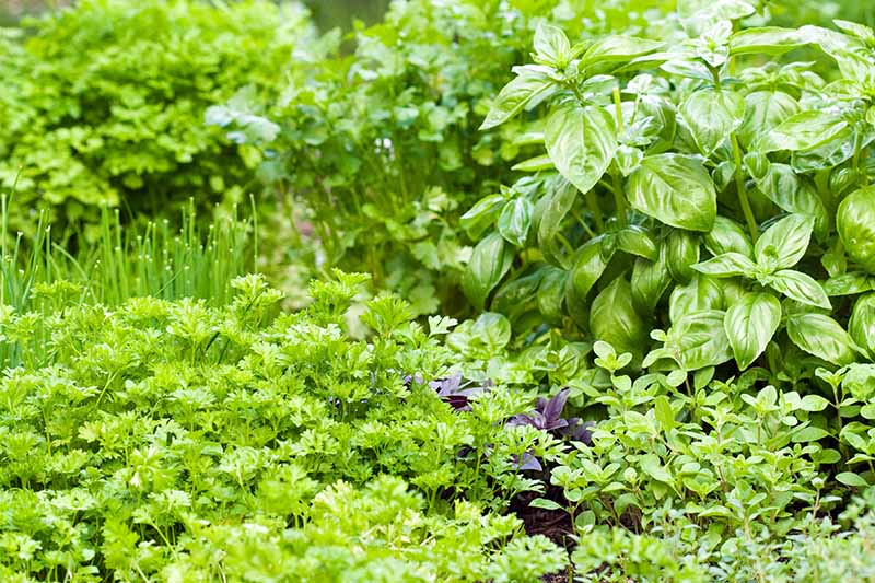 A close up horizontal image of an abundant herb garden growing a variety of different plants.