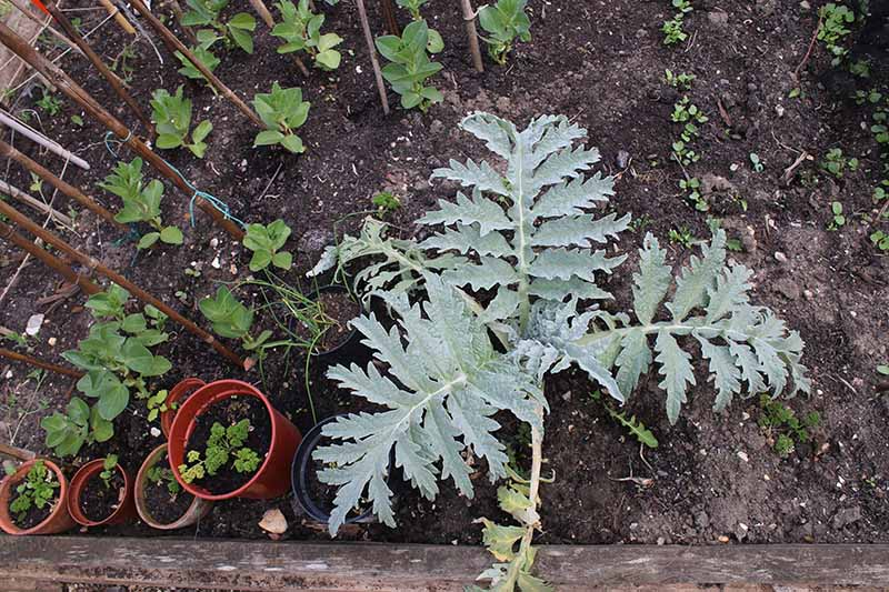 A top down horizontal image of a globe artichoke plant growing in the garden.