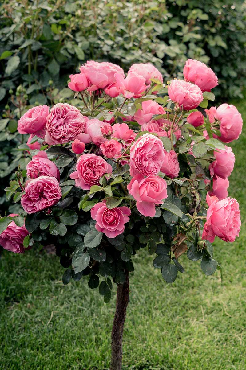 A close up vertical image of pink flowers on a healthy tree rose growing in the garden with a hedge in soft focus in the background.
