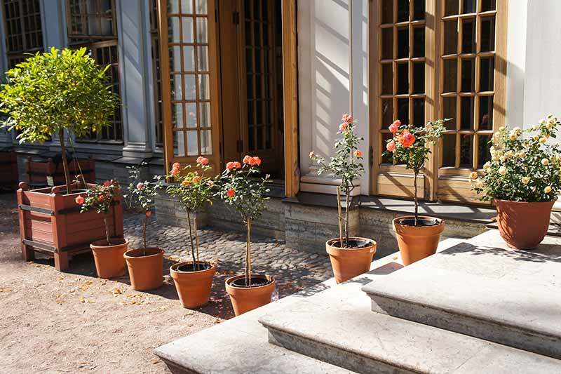 A horizontal image of a patio with terra cotta pots growing tree roses outside a residence.