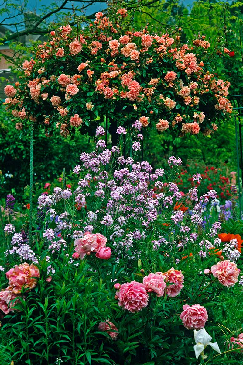 A close up vertical image of a cottage garden planted with rose trees and shrubs and a variety of other perennials.