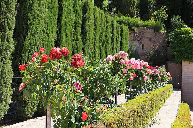A horizontal image of a formal garden in Spain planted with box hedging and tree roses.
