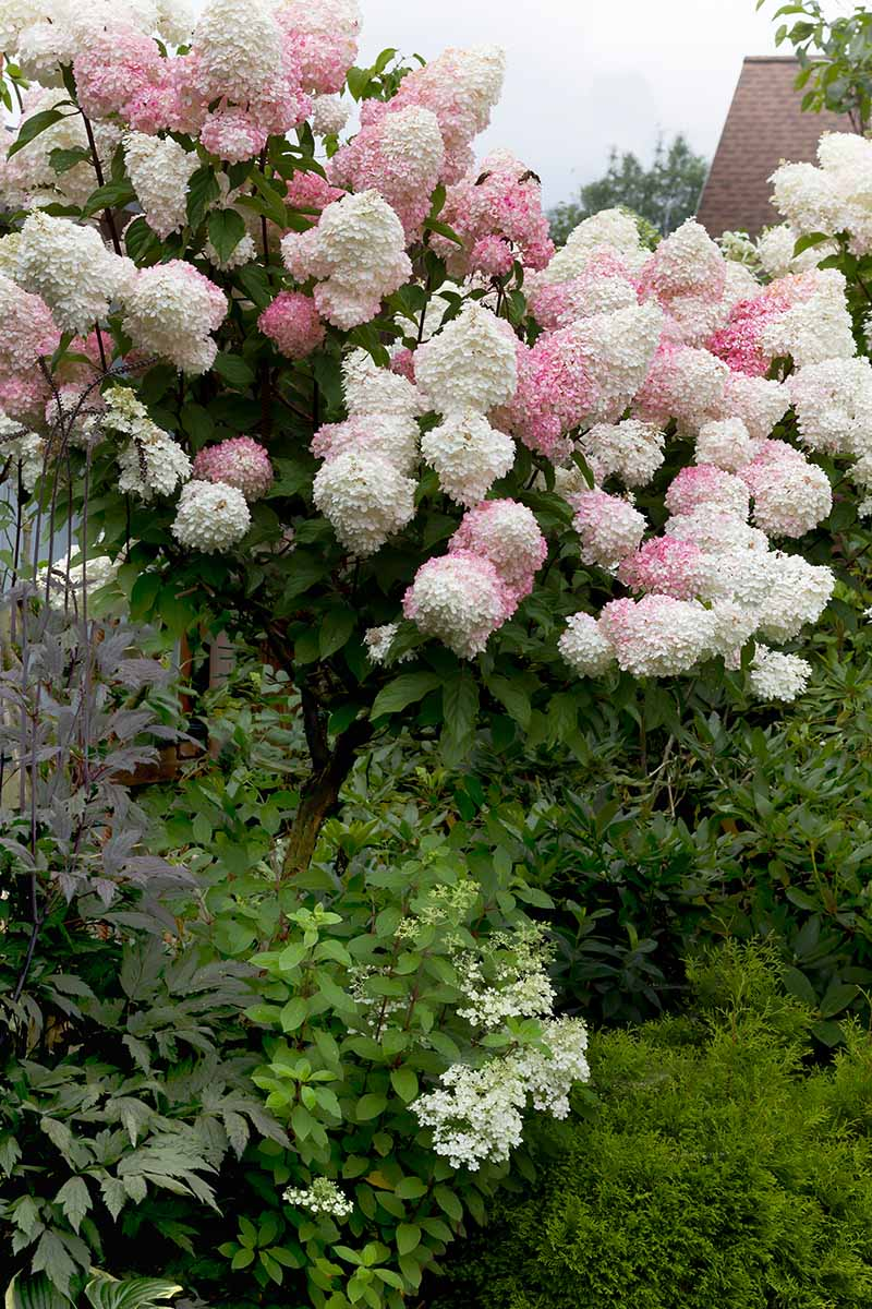 A close up vertical image of a large panicle hydrangea with pink and white flowers that has been trained to grow in a tree-like form.