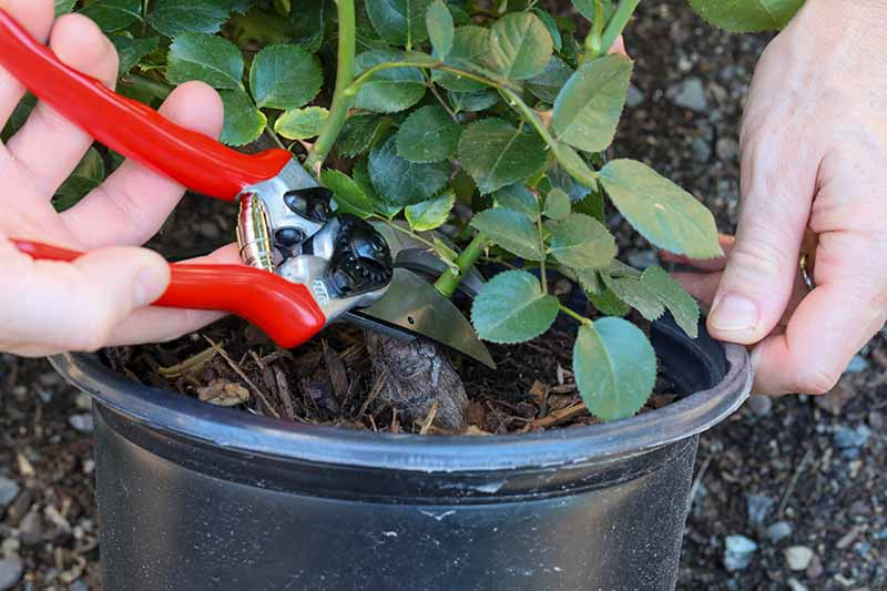 A close up horizontal image of a gardener's hands using a pair of pruners to trim the canes of a shrub prior to planting out into the garden.