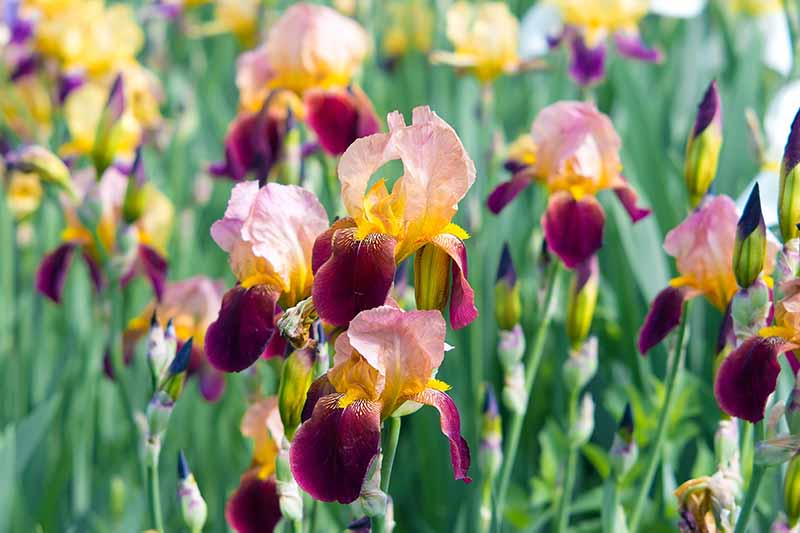 A close up horizontal image of colorful iris flowers growing in the garden pictured in bright sunshine on a soft focus background.