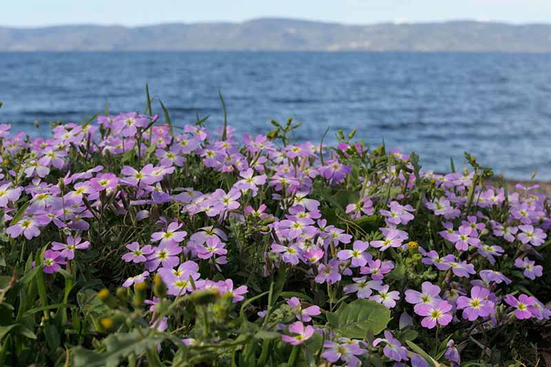 A horizontal image of Virginia stock flowers growing on a coastline with the sea and mountains in the background in soft focus.