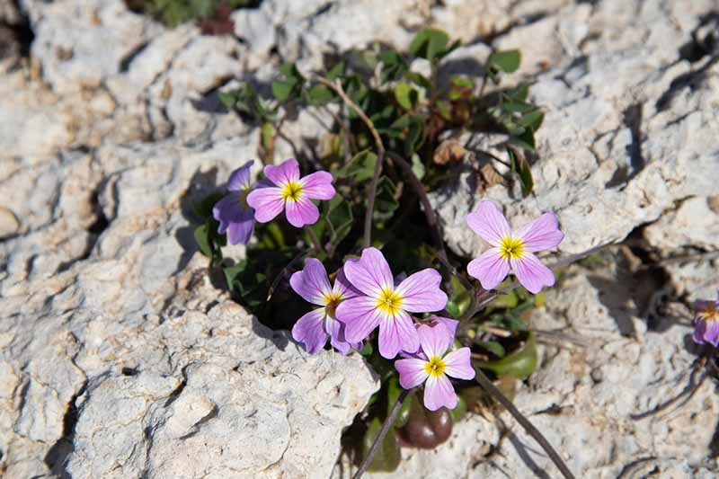 A close up horizontal image of small pink Virginia stock flowers (Malcolmia maritima) growing in between rocks.