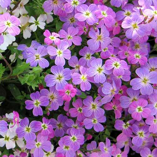 A close up square image of pink and purple Virginia stock flowers growing in the garden.