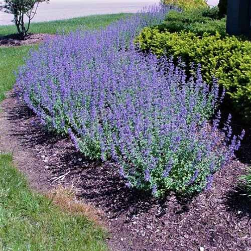 A close up square image of a garden border planted with flowering Nepeta 'Walkers Low.'