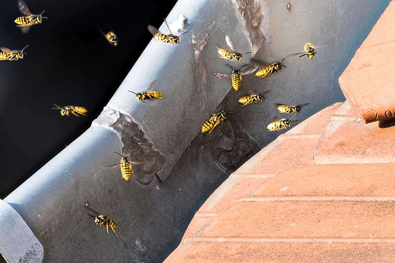 A close up horizontal image of wasps buzzing around a nest they've made in the soffits of a residence on a sunny day.