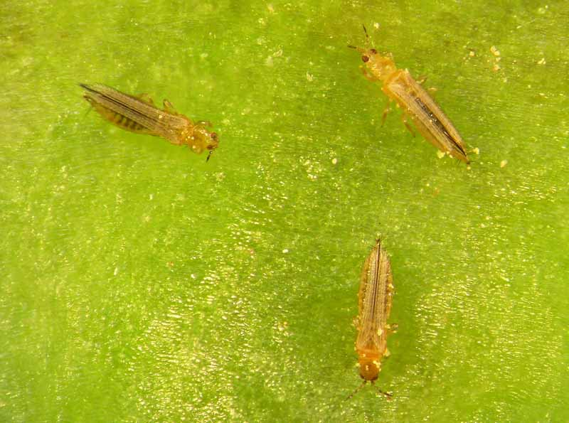 A close up horizontal image of thrips infesting a green leaf.
